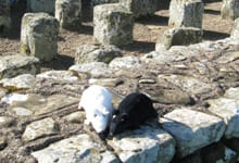 Rats at Housesteads Roman Fort